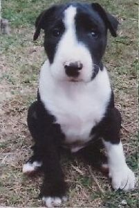 English Bull Terrier x Bull Terrier cross puppies for sale North Isis Bundaberg Surrounds Preview