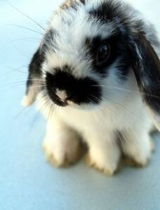 WANTED: Holland Lop Rabbit