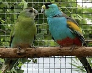 Golden Shoulder Parrots Ramsgate Rockdale Area Preview