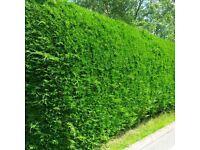 Leylandii hedging