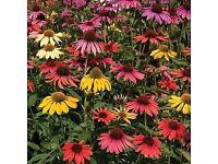 PERENNIAL PLANT-Echinacea Mixed x 3 + Lupin Dwarf x 3 (plug plants)
