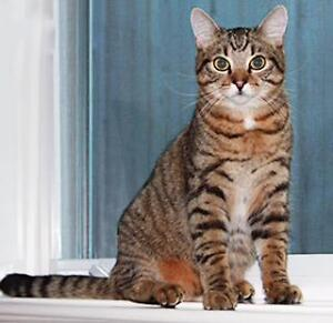 "Young Male Cat - Tabby - Brown: ""Seashell 2 (Charlie)"""