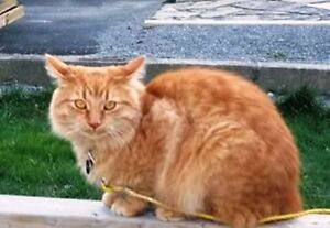 KLAWS:Missing Orange Tabby, Glenelg St W at Albert in Lindsay Kawartha Lakes Peterborough Area image 1