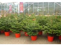 Real CHRISTMAS TREE - 4-5 ft Rooted and Potted - FREE DELIVERY
