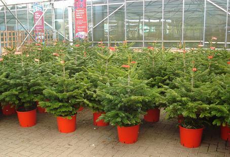 Real Christmas Tree 3 4ft Rooted And Potted Free