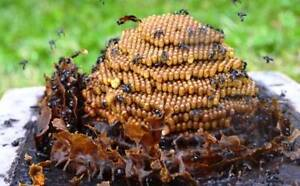 Free Native Bee Rescue and Relocation!!! Tweed Heads West Tweed Heads Area Preview
