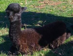 Alpaca Females with cria at foot. Bullsbrook Swan Area Preview