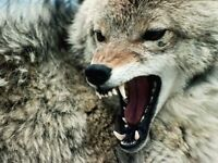 FREE Coyote and small pest removal