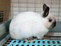 Sable Point Netherland Dwarf Buck $40