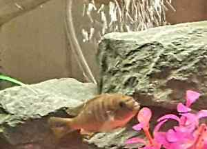 I have 37 cichlid fry the first 2 are  the parents  Peterborough Peterborough Area image 1