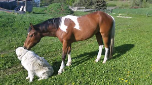 3.7 year old registered paint gelding