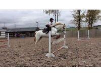 14.2 jumping pony