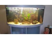 full tropical fish tank setup 325 litre puffer fish and others included