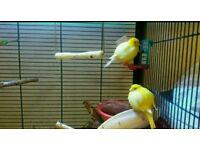 Female hen yellow canary