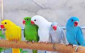 I will buy your indian ring neck parrot