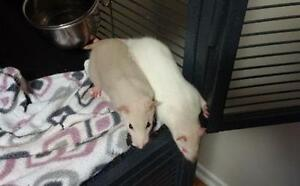 "Baby Female Small & Furry - Rat: ""Annabelle & Penelope"""