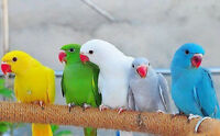♥☆.¸¸.•´¯`♥ Indian Ringnecks ♥☆.¸¸.•´¯`♥