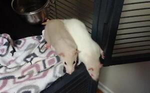 """Baby Female Small & Furry - Rat: """"Annabelle & Penelope"""""""