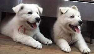 Purebred White Swiss Shepherd pups, excellent health checks Grandchester Ipswich City Preview