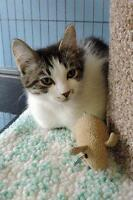 "Young Female Cat - Domestic Short Hair: ""McGee"""