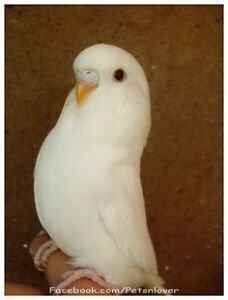 Looking to adopt or buy a young female friendly budgie bird