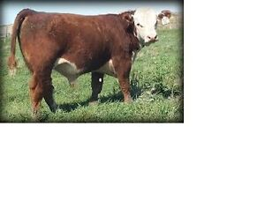 Looking to Lease/Rent Quality Hereford Bull