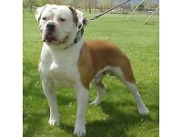 Beautiful American Bulldog pups 4 week and old