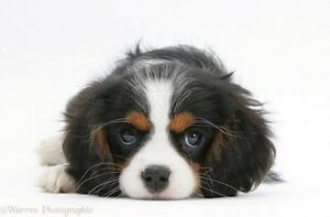 Looking for a King Charles Cavalier Happy Valley Morphett Vale Area Preview
