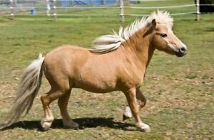 WTB - Miniature/Shetland Pony Ngunnawal Gungahlin Area Preview