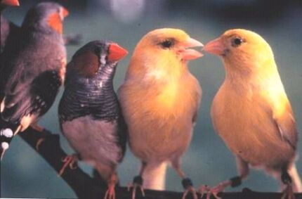 Wanted finches and canaries Gosnells Gosnells Area Preview