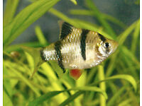 Single Tiger Barb free to a good home