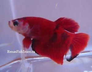 Koi Halfmoon Plakat Betta Fish (Males & Females) Cambridge Kitchener Area image 8