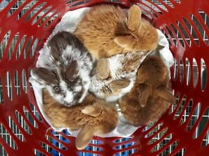Baby Holland Lop Rabbits *ready to be reserved*