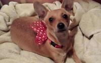 "Young Female Dog - Chihuahua: ""Sophia"""