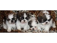 Full breed shih tzu puppies