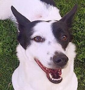 Adult Female  - Terrier-Border Collie