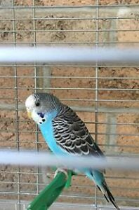 5 months old Budgie