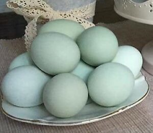 HATCHING EGGS FOR AMERAUCANAS CHICKENS (BLUE LAYERS)