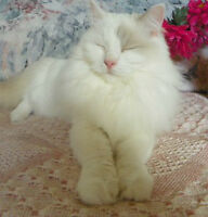 Blue-Cream Spayed Female Ragdoll Available