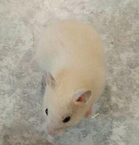bébé hamster poil court couleur crème femelle