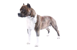 Wanting - Male American Staffordshire Ipswich Ipswich City Preview