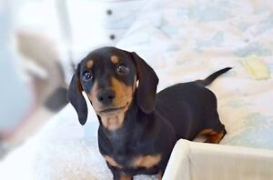 WANTED DACHSHUND Sydney City Inner Sydney Preview