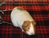 "Adult Female Small & Furry - Guinea Pig: ""Bugsey"""