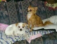 Two very small dogs forsale