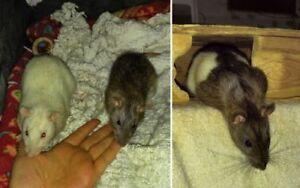 """Young Male Small & Furry - Rat: """"Alvin, Simon & Theodore"""""""