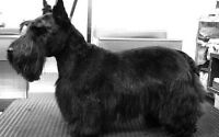 Free Grooming - Scottish Terrier