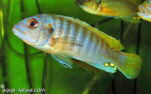 Sell some africancichlids fish