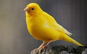 Looking for all yellow male young canary