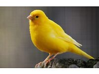 2 yellow canaries and small cage