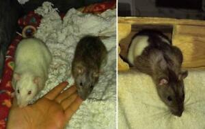 "Young Male Small & Furry - Rat: ""Alvin, Simon & Theodore"""